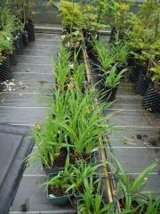 Hemerocallis -- Hemerocallis (Daylilies)