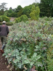 Taunton Deane perennial kale -- Falling over and easily rooting in open soil, these kales can get quite large laterally too!