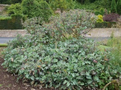 Taunton Deane perennial kale --  Taunton Deane perennial kale: the plants in the open garden are less tall and spreading laterally by rooting stems than the Giant!