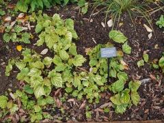 Begonia grandis -- Begonia grandis has edible flowers