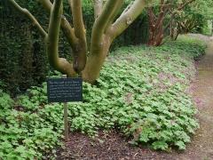 Border of Geranium macrorrhizum -- Border of Geranium macrorrhizum: the aromatic leaves are used in pot-pourri and perfumery!
