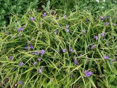 Tradescantia -- Tradescantia: Edible shoots and flowers