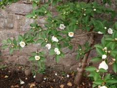 Stewartia pseudocamellia -- Stewartia pseudocamellia