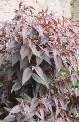 "Persicaria microcephala ""Red Dragon"" -- Persicaria microcephalla ""Red Dragon"""