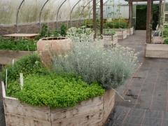 Curry plant, Helichrysum italicum -- Curry plant, Helichrysum italicum