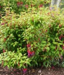 Fuchsia -- Fuchsia