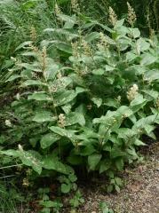 Maianthemum racemosum -- Maianthemum racemosum