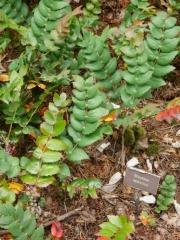 Mahonia nervosa -- Mahonia nervosa (Dwarf Oregon grape)