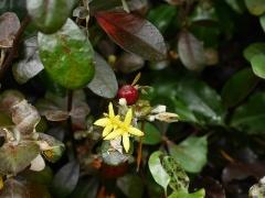 Elaeagnus spp. -- Elaeagnus spp.