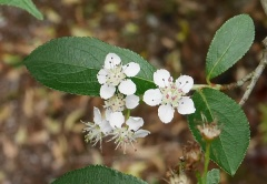 Aronia arbutifolia -- Aronia arbutifolia