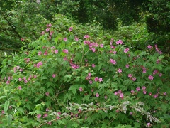 Rubus odoratus / parviflorus? -- Rubus odoratus / parviflorus? (Thimbleberry)