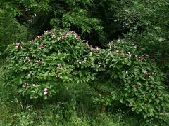 Magnolia -- Magnolia
