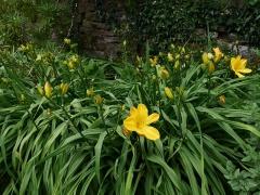 Hermerocallis -- Hermerocallis (day lily)