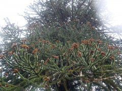 Monkey puzzle -- On the walk back to Tiverton, the heavens opened...I sought refuge in this cemetery where there was a fine monkey puzzle tree!