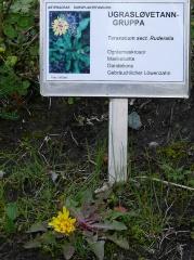 Taraxacum spp. -- Taraxacum spp.