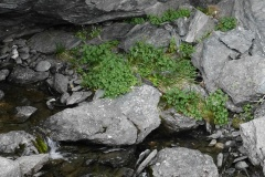 Oxyria digyna, mountain sorrel -- Oxyria digyna, mountain sorrel