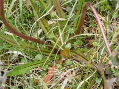 Could this be the Dovre dandelion, Taraxacum dovrensis??? -- Could this be the Dovre dandelion, Taraxacum dovrensis???