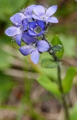 Veronica alpina / alpine speedwell/ fjellveronika -- Veronica alpina / alpine speedwell/ fjellveronika