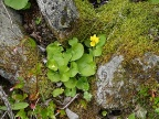 Viola biflora / two-flowered violet / fjellfiol
