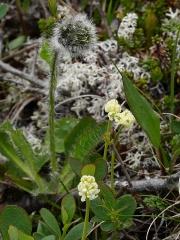 Hieracium alpinum? and Tofieldia pusilla -- Hieracium alpinum? and Tofieldia pusilla