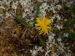 Could this be Taraxacum dovrense? -- Could this be Taraxacum dovrense?
