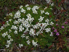 A large flowered white moss campion / fjellsmelle -- A large flowered white moss campion / fjellsmelle alongside a normal sized flower to the right!