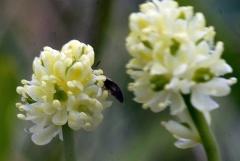 Tofieldia pusilla / Scottish asphodel / bjørnebrodd -- Tofieldia pusilla / Scottish asphodel / bjørnebrodd
