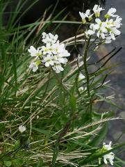 Arabis alpina / alpine rock cress / fjellskrinneblom -- Arabis alpina / alpine rock cress / fjellskrinneblom