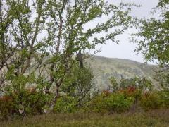 Cuckoo / gjøk with meadow pipit /heipiplerke (below) -- Cuckoo / gjøk with meadow pipit /heipiplerke (below)