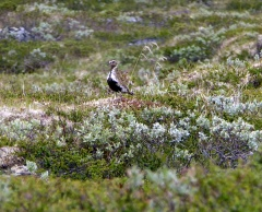 Golden Plover / Heilo were common on the open mountain -- Golden Plover / Heilo were common on the open mountain