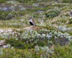 Golden Plover / Heilo were common on the open mountain