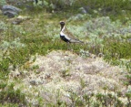 Golden Plover / Heilo