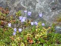 Campanula rotundifolia / harebell / blåklokke -- Campanula rotundifolia / harebell / blåklokke