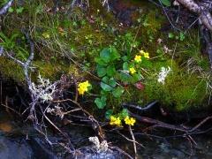 Caltha palustris / marsh marigold / soleihov -- Caltha palustris / marsh marigold / soleihov