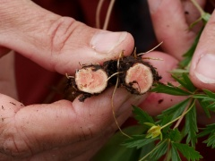 Demonstrating the pinkish colour of the root of Potentilla erecta -- Demonstrating the pinkish colour of the root of Potentilla erecta (tormentil / tepperot), commonly used in herbal medicine. It is an astringent herb, often used in liqueurs and tinctures, such as the Bavarian Blutwurz (https://en.wikipedia.org/wiki/Blutwurz)