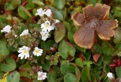 Euphrasia spp. with fungi -- Euphrasia spp. (eyebright, øyentrøst) on the left..
