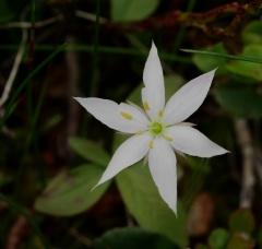 Trientalis europaea -- Trientalis europaea / chickweed wintergreen /  skogstjerne