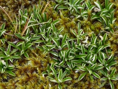 Mountain everlasting, Antennaria -- Mountain everlasting, Antennaria