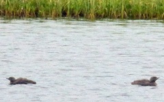 Loons on loon tarn! -- Loons on loon tarn! Young red throated divers / smålom (Dan: rødstrubet lom)