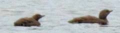 Loons on loon tarn! -- Loons on loon tarn! Young red throated divers / smålom (Dan: rødstrubet lom)
