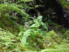Cicerbita alpina / alpine sow thistle / turt  -- Cicerbita alpina / alpine sow thistle / turt (Dansk: almindelig turt )