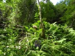 Ostrich fern / strutseving (strudsvinge) -- Ostrich fern / strutseving (strudsvinge)