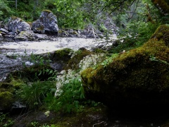 Mountain queen (Saxifraga cotyledon) -- Mountain queen (Saxifraga cotyledon)