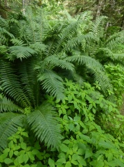 Touch-me-not Balsam with ostrich fern! -- Touch-me-not Balsam with ostrich fern!