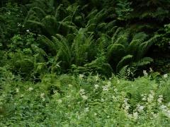 Meadowsweet / mjødurt (almindelig mjødurt) and ostrich fern / strutseving -- Meadowsweet / mjødurt (almindelig mjødurt) and ostrich fern / strutseving