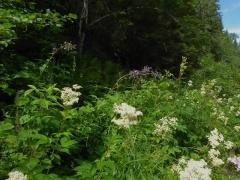 Meadowsweet / mjødurt and Cicerbita alpina / alpine sow thistle / turt -- Meadowsweet / mjødurt and Cicerbita alpina / alpine sow thistle / turt
