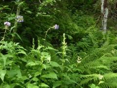 Alpine sow thistle / turt (Dansk: almindelig turt ) and giant bellflower / storklokke (bredbladet klokke ) -- Alpine sow thistle / turt (Dansk: almindelig turt ) and giant bellflower / storklokke (bredbladet klokke )