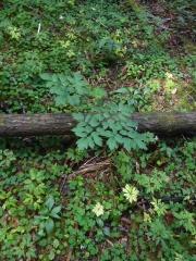 Actaea spicata / trollbær (sort druemunke) -- Actaea spicata / trollbær (sort druemunke)