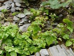 Circaea alpina / enchanter's nightshade / trollurt  -- Circaea alpina / enchanter's nightshade / trollurt (Dansk: liden steffensurt )