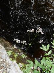 Valeriana sambucifolia / vendelrot  -- Valeriana sambucifolia / vendelrot (Dansk: hyldebladet baldrian)